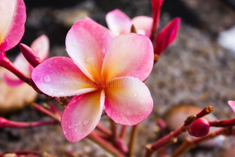 Piękne cukierki menchie kwitną plumeria wiązkę z relaksować i med zdjęcia royalty free