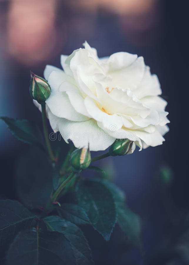 Piękne czarodziejskie marzycielskie magiczne białe beżowe śmietankowe róże kwitną na zatartym rozmytym zielonym błękitnym tle obraz stock