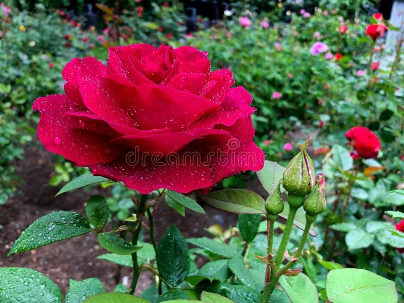 Piękne czerwone róże od Matsushima wyspy Japonia obraz stock