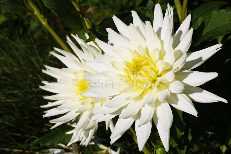 Piękne dalie Kwiat dalie w ogródzie lub parku zdjęcie royalty free