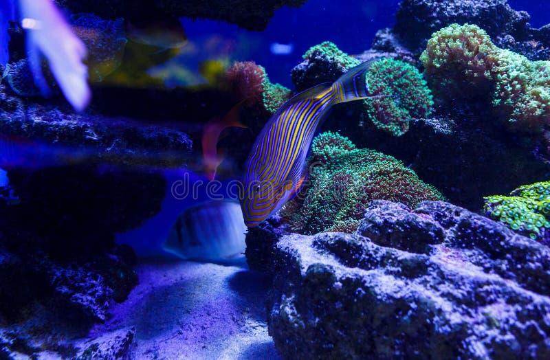 Piękne denne ryby chwytać na kamerze pod wodą pod zmrokiem - błękitny naturalny tło akwarium lub ocean zdjęcia stock
