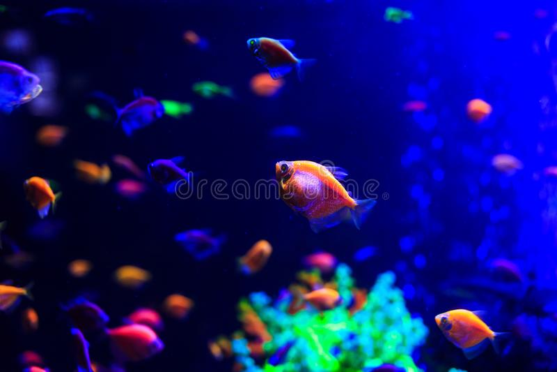 Piękne denne ryby chwytać na kamerze pod wodą pod zmrokiem - błękitny naturalny tło akwarium lub ocean zdjęcie royalty free