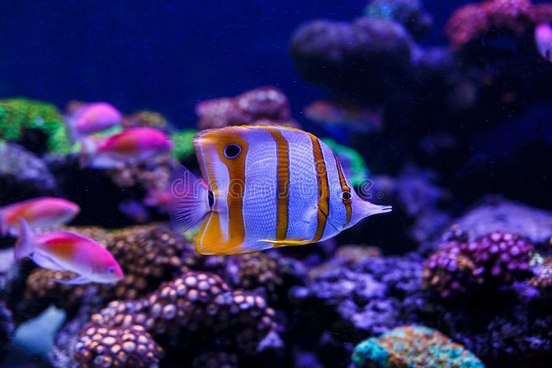 Piękne denne ryby chwytać na kamerze pod wodą pod zmrokiem - błękitny naturalny tło akwarium lub ocean obrazy stock
