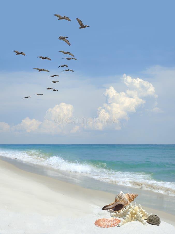 Piękne Denne skorupy na Białej piasek plaży jako kierdel pelikany Latają Obok zdjęcia royalty free