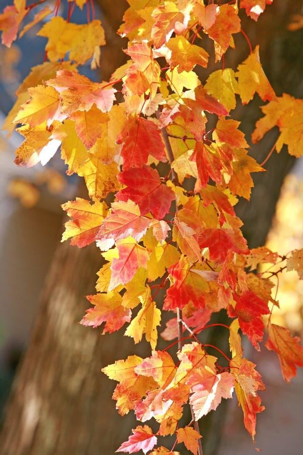 piękne drzewo jesieni obraz royalty free