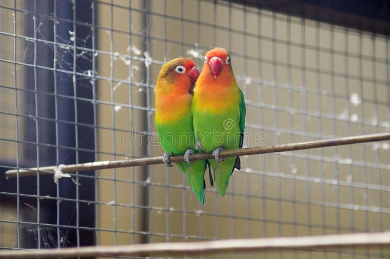 Piękne egzotyczne papugi w aviarie zdjęcie royalty free