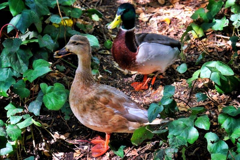 Piękne kaczki w parku zdjęcia stock