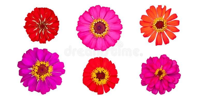 Piękne kolorowe cynie kwitną odgórnego widok odizolowywającego na białym tle zdjęcia stock