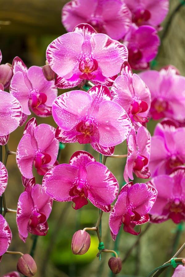 piękne kwiatów orchidei menchie fotografia stock