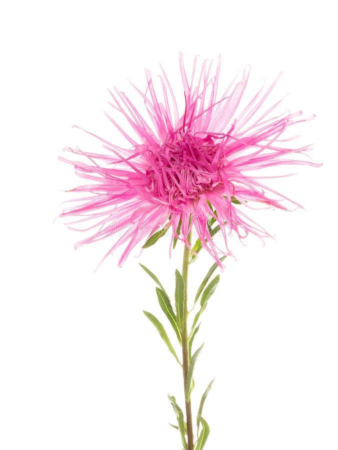 Piękne kwiat menchie atry fotografia stock
