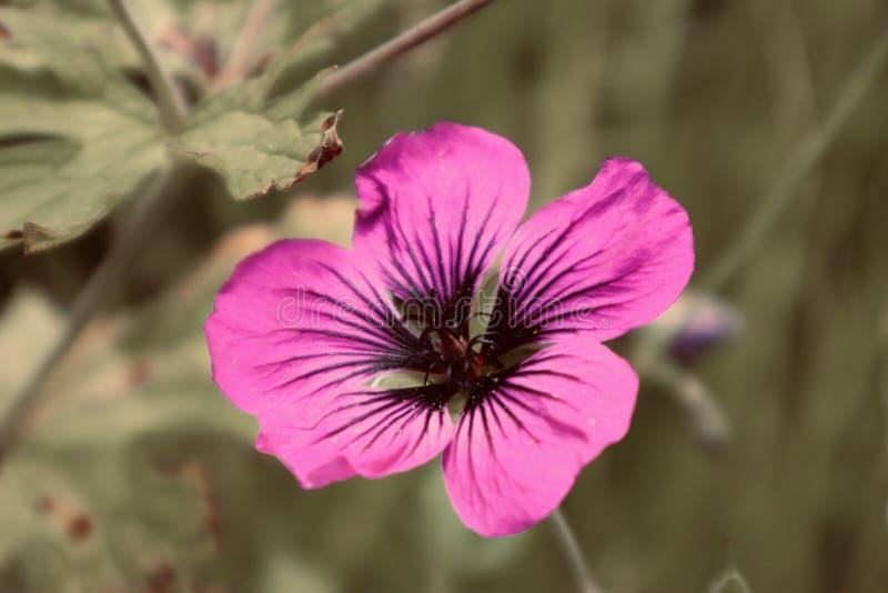 Piękne kwiat purpury zamykają w górę kwitnąć dzikiego flowe plakat lub pocztówka materiał zdjęcia royalty free
