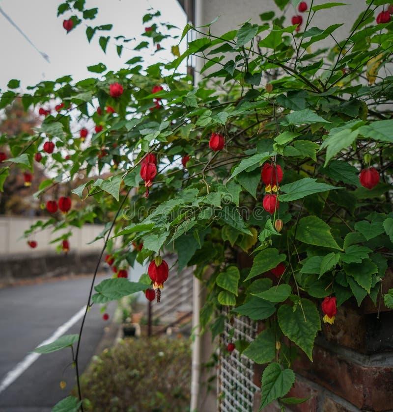 Piękne kwiaty Fuchsia kwitną w ogrodzie zdjęcia stock