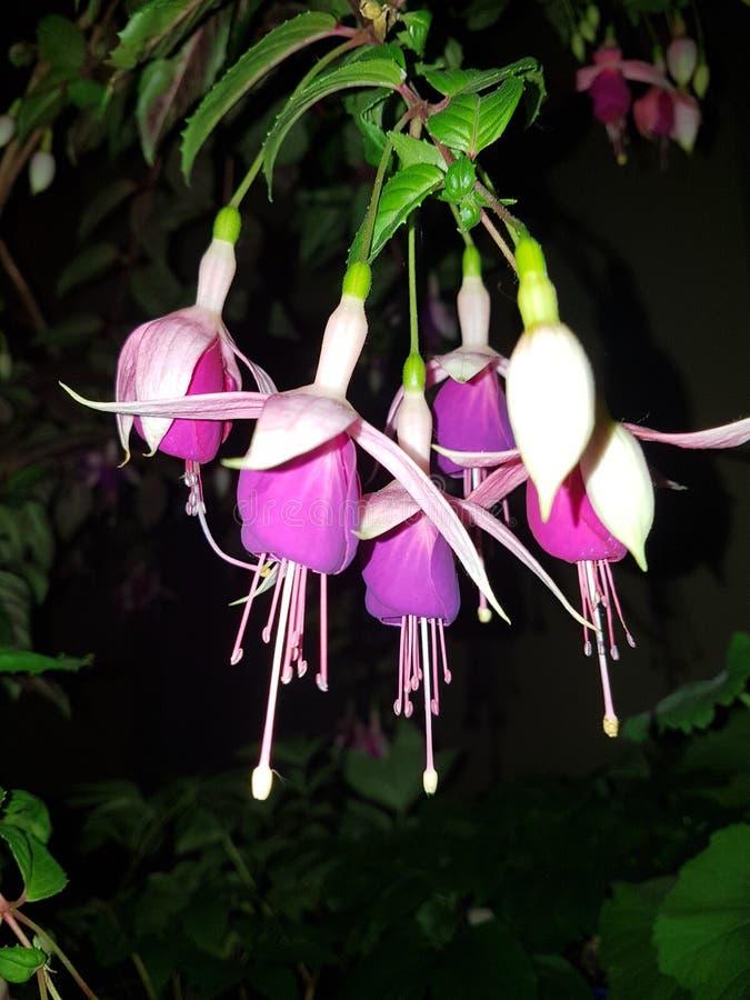 Piękne kwiaty fuksji obraz royalty free