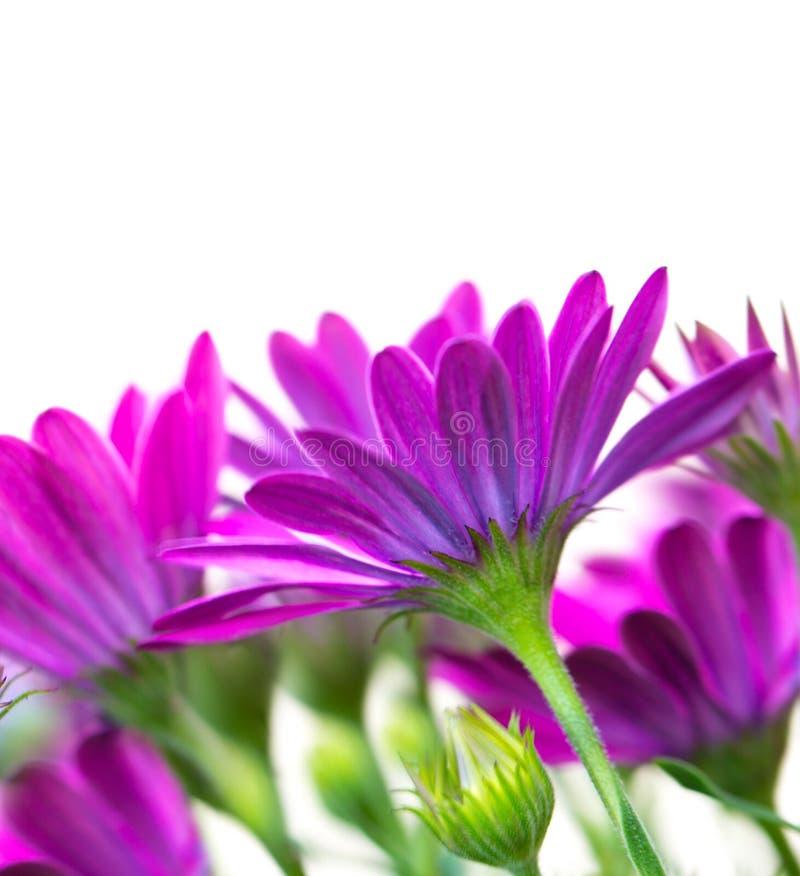 piękne kwiaty purpurowych fotografia royalty free