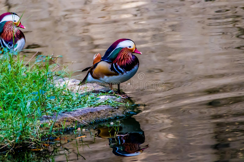 Piękne Męskie mandaryn kaczki na banku obrazy royalty free