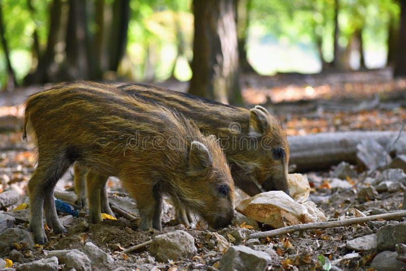 Piękne małe świnie dzikie w naturze dzika natura rosyjskiego terenu wilder voronezh Zwierzę w lesie obrazy stock
