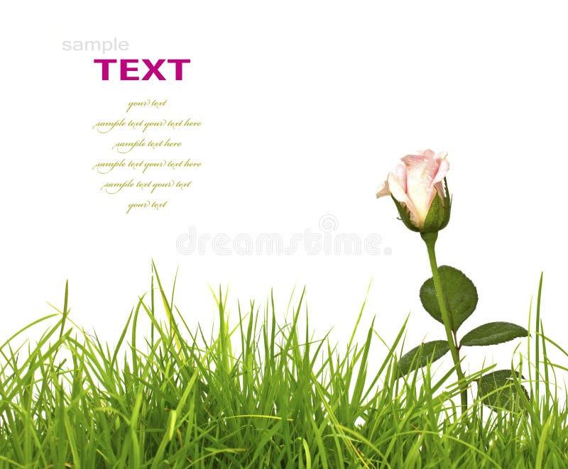 Piękne menchie kwitną i świeży wiosny zielonej trawy isolat (Wzrastał) zdjęcie royalty free
