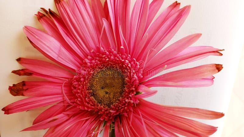 Piękne menchie kwitną z świeżym i ciemnym w kolorze obraz royalty free