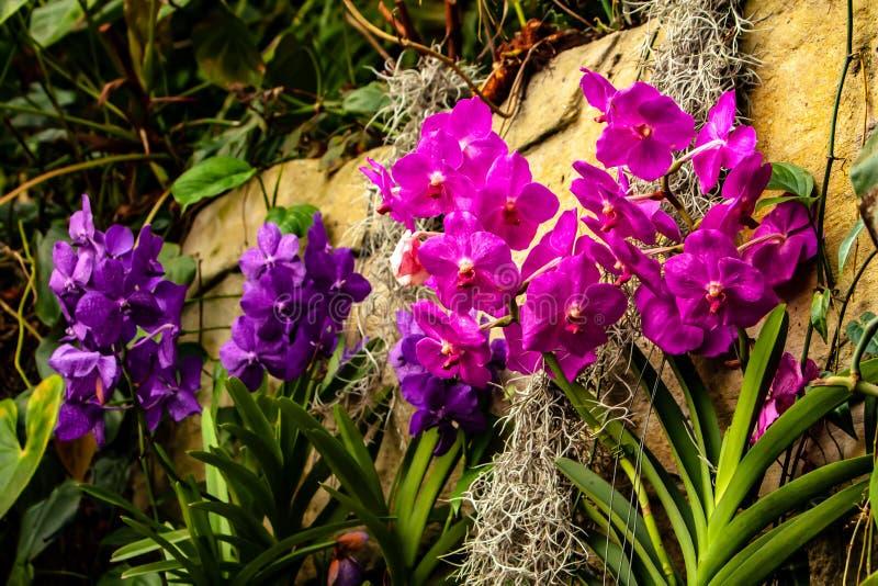 Piękne menchie, purpurowa orchidea - szczegół domowy roślina kwiat obrazy royalty free