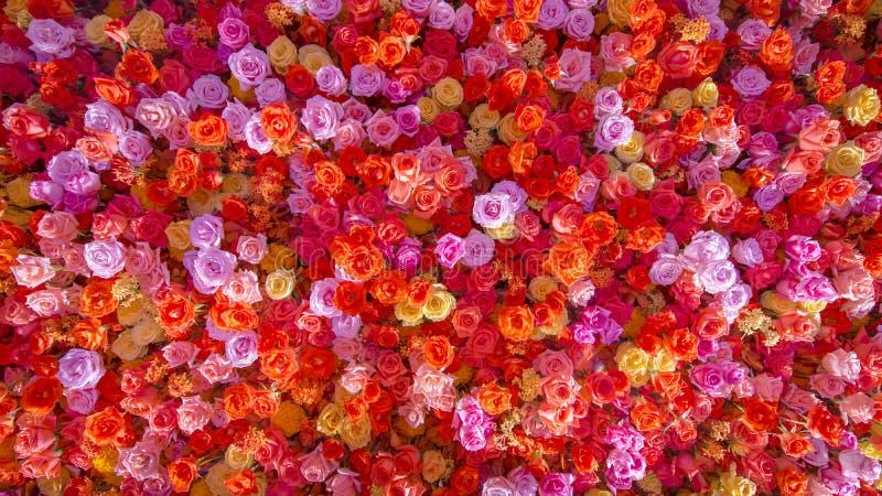Piękne naturalne czerwone róże kwitną tło dla specjalnych okazj sztandaru obraz royalty free