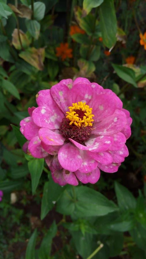 piękne okwitnięcia kwiatu menchie obraz royalty free
