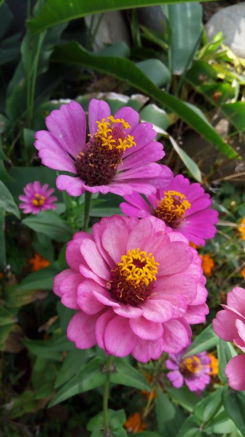 piękne okwitnięcia kwiatu menchie zdjęcie stock