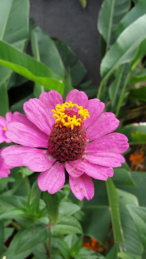 piękne okwitnięcia kwiatu menchie fotografia stock