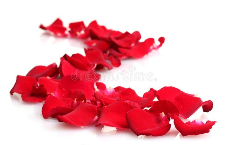 piękne płatków czerwieni róże zdjęcia royalty free