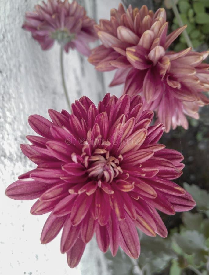 Piękne płatki czerwonych kwiatów kwitnące w oderwaniu od roślin zielonych rosnących w ogrodzie, fotografia przyrodnicza zdjęcie stock