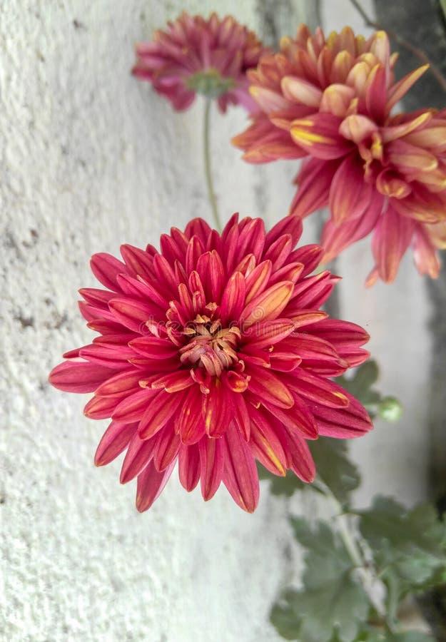 Piękne płatki czerwonych kwiatów kwitnące w oderwaniu od roślin zielonych rosnących w ogrodzie, fotografia przyrodnicza obraz stock