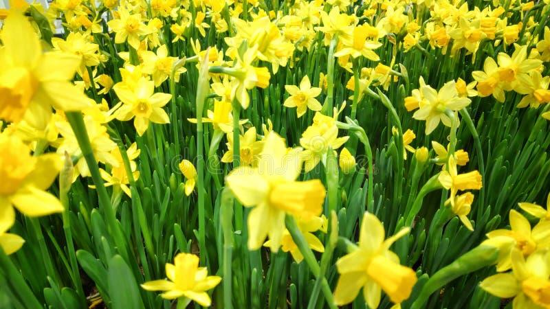 Piękne, pełne zamknięcie zdjęcie kwitnących kwiatów żółtej papryki zdjęcia stock