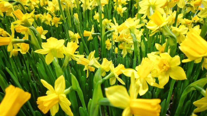 Piękne, pełne zamknięcie zdjęcie kwitnących kwiatów żółtej papryki obrazy stock