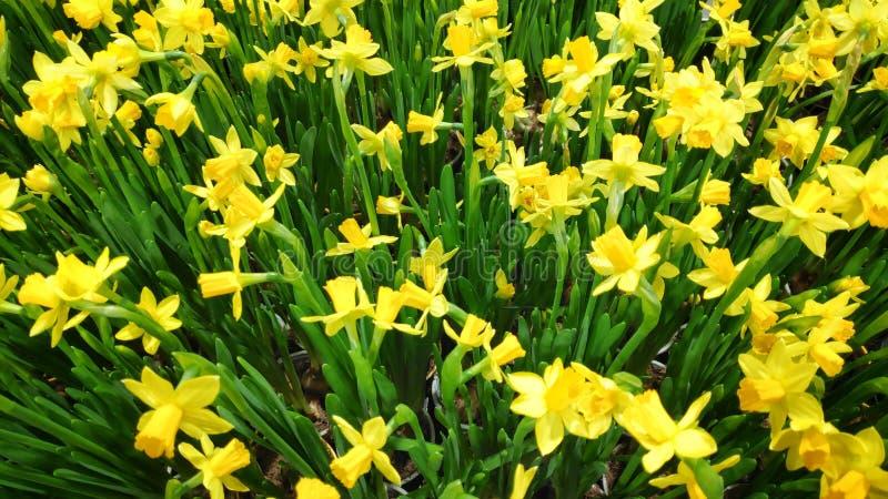Piękne, pełne zamknięcie zdjęcie kwitnących kwiatów żółtej papryki obraz stock
