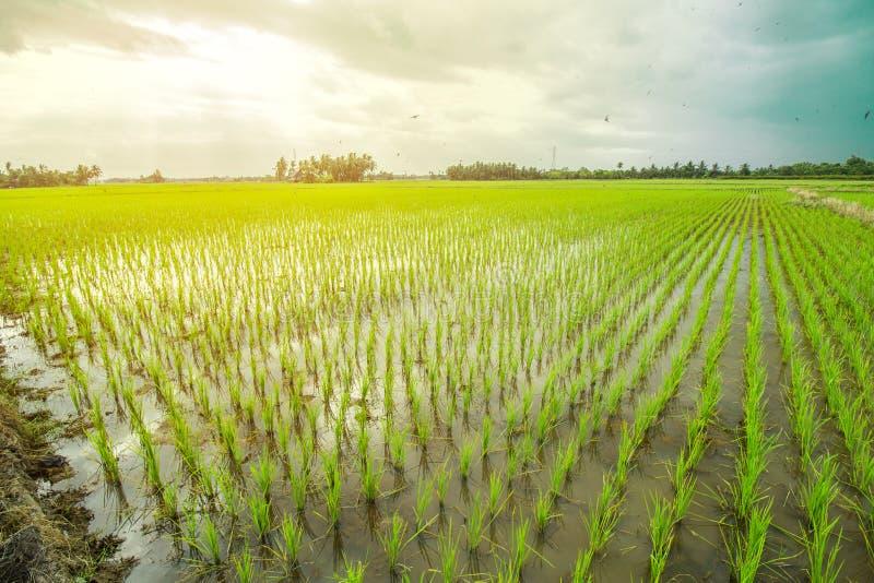 piękne polowe ryżu obrazy stock