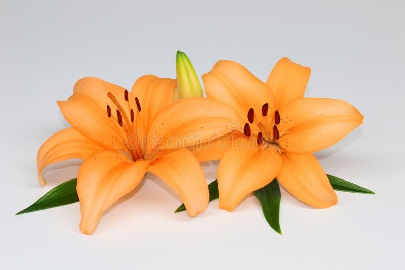Piękne pomarańczowe leluje zdjęcia royalty free