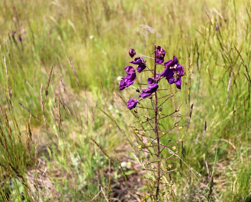 Piękne purpury kwitną Verbascum phoeniceum, znać jako purpurowe dziewanny lub kusicielki purpury Zdrowa roślina, cardiotonic zdjęcia royalty free