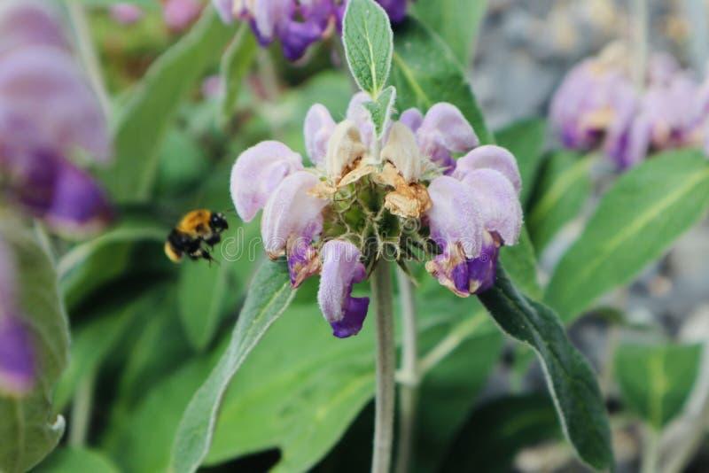 Piękne purpury kwitną z honeybee pszczoły tłem zamkniętym w górę kwiatu kwitnie dzikiego kwiatu obraz stock