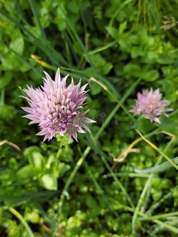 Piękne purpury kwitną zwyczajne zielone cebule na zamazanym tle obraz royalty free