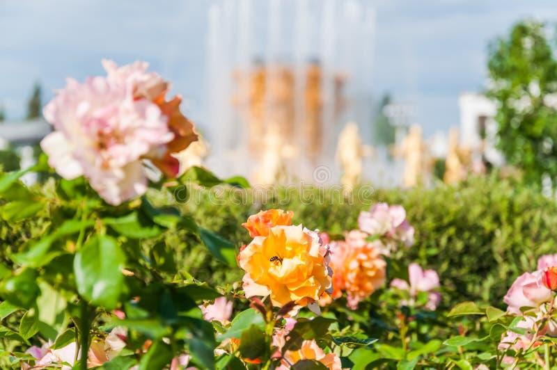 Piękne róże na tle fontanna «przyjaźń peoples przy VDNH zdjęcie stock