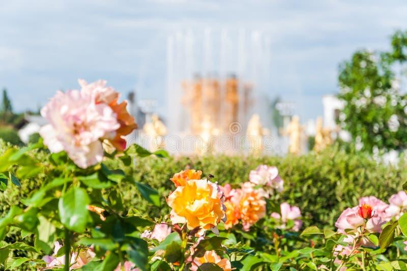 PiÄ™kne róże na tle fontanny 'Przyjaźń narodów' w VDNH zdjęcie stock