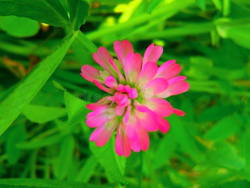 piękne różowy kwiat obrazy stock