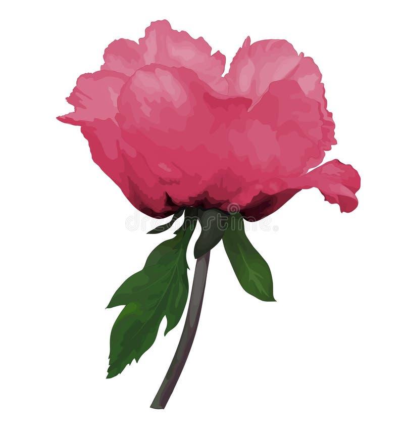 Piękne rośliny Paeonia arborea menchie kwitną z trzonem i liśćmi z skutkiem akwarela rysunek odizolowywający dalej (Drzewna peoni royalty ilustracja