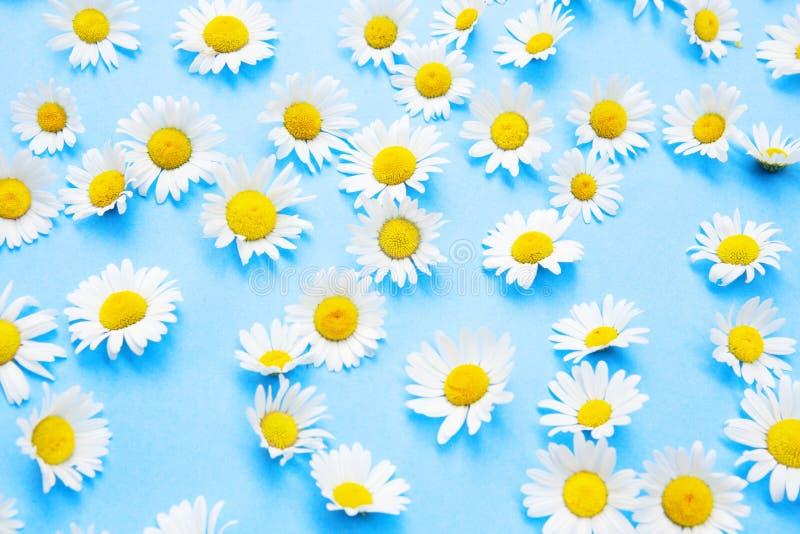 Piękne stokrotki na błękitnym tle fotografia stock