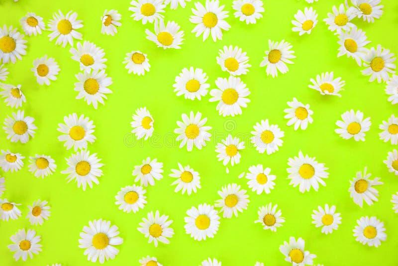 Piękne stokrotki na neonowym zielonym tle ilustracja wektor