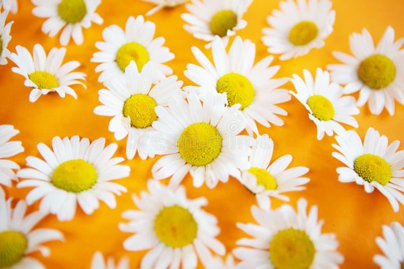 Piękne stokrotki na pomarańczowym tle zdjęcia royalty free