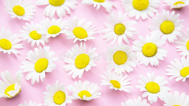 Piękne stokrotki na różowym tle obrazy stock
