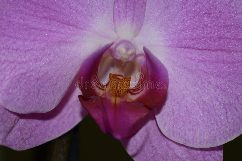 piękne storczykowe purpurowy obrazy royalty free