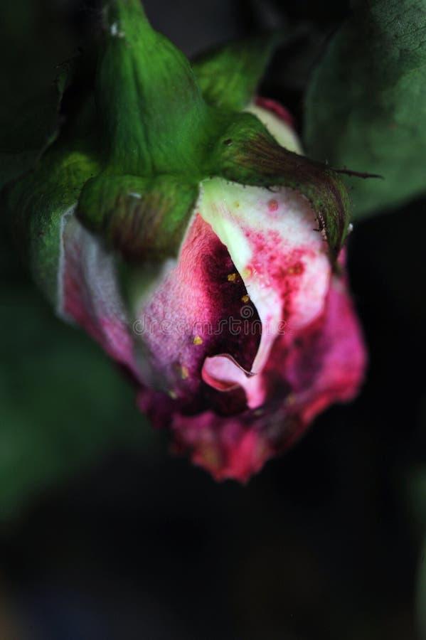 Piękne utrzymanie menchii róże suszyli w bukiet sztuce obrazy royalty free