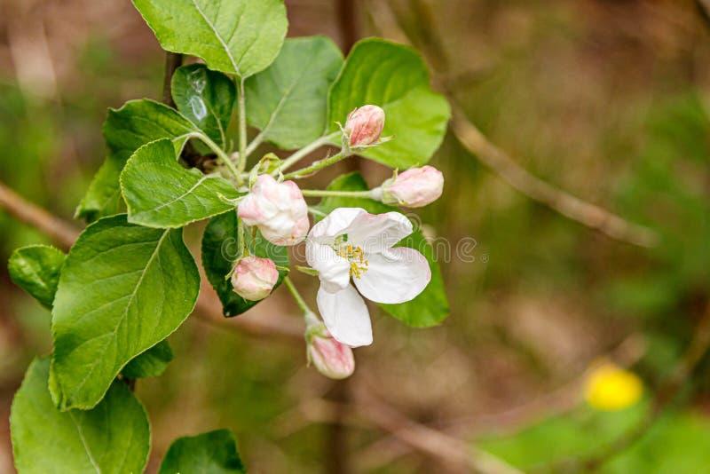 Piękne wiosny kwiecenia gałąź drzewa z białymi kwiatami i insektami makro- zdjęcia stock
