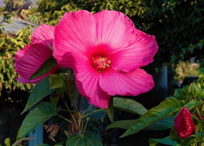 Pięknego bagna ślazu Różany kwiat zdjęcia royalty free